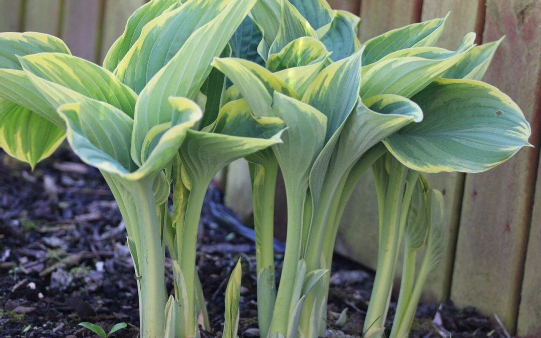 hostas pop up early in spring landscaping